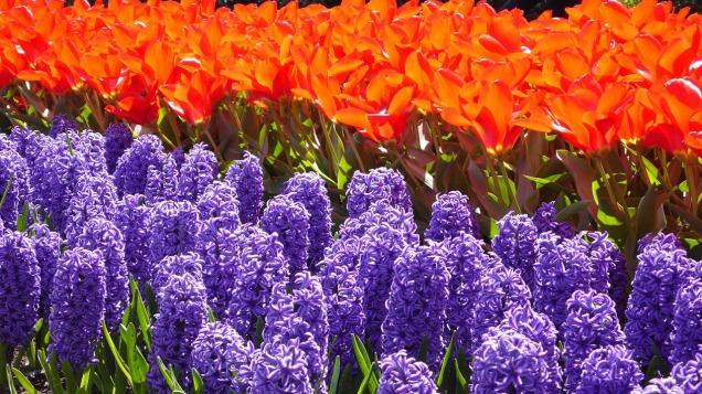 Spring flowers! Tulips & Hyacinth. (CC0 image via Pixabay)