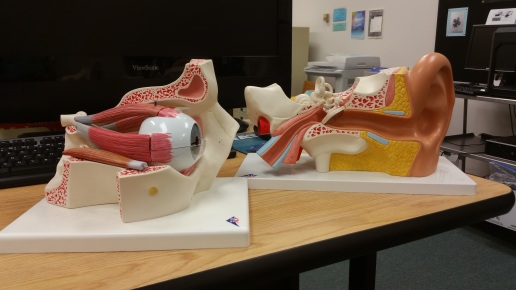 Anatomical models for the School of Health Sciences