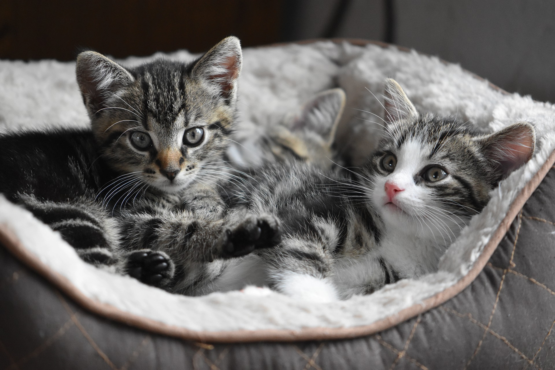 young kittens in a cat bed